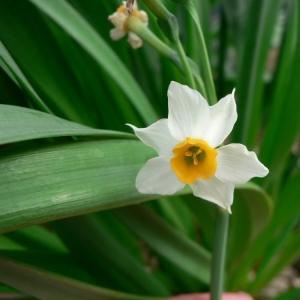 Photographie n°18579 du taxon Narcissus tazetta L. [1753]