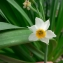 Mathieu MENAND - Narcissus tazetta L. [1753]
