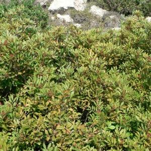 Photographie n°18590 du taxon Pistacia lentiscus L. [1753]
