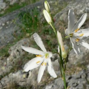 Photographie n°18606 du taxon Anthericum liliago L. [1753]