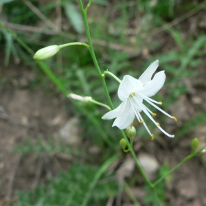 Photographie n°18607 du taxon Anthericum ramosum L.