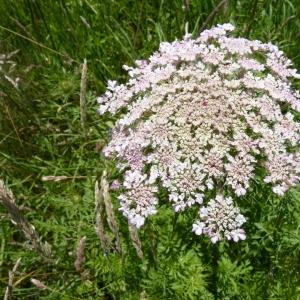 Photographie n°18616 du taxon Daucus carota subsp. carota