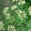 Mathieu MENAND - Heracleum sphondylium subsp. sphondylium