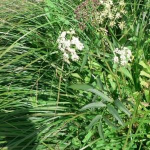 - Sium latifolium L.