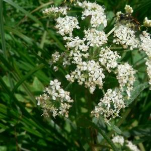Sium latifolium L. (Berle à larges feuilles)