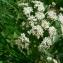 Mathieu MENAND - Sium latifolium L.