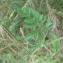 Mathieu MENAND - Daucus carota subsp. carota