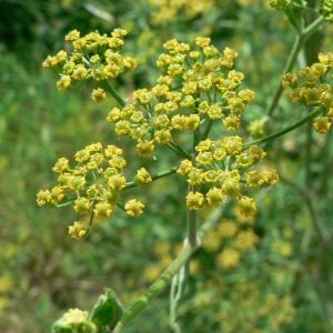Pastinaca sativa subsp. urens (Req. ex Godr.) Celak. (Panais brûlant)