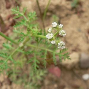 Caucalis platycarpos L. [1753] (Caucalis à feuilles de carotte)