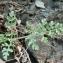 Mathieu MENAND - Daucus carota subsp. gummifer (Syme) Hook.f. [1884]