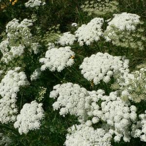 Coristospermum lucidum (Mill.) Reduron, Charpin & Pimenov (Ligustique des Pyrénées)