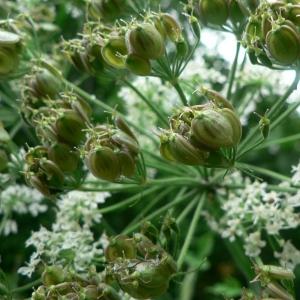 - Heracleum sphondylium subsp. sphondylium