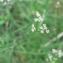 Mathieu MENAND - Torilis arvensis subsp. purpurea (Ten.) Hayek [1927]