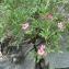 Mathieu MENAND - Nerium oleander L. [1753]