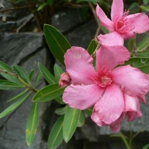 Photographie n°18928 du taxon Nerium oleander L. [1753]