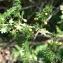 Mathieu MENAND - Asparagus acutifolius L. [1753]