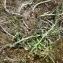 Mathieu MENAND - Asparagus officinalis subsp. prostratus (Dumort.) Corb. [1894]