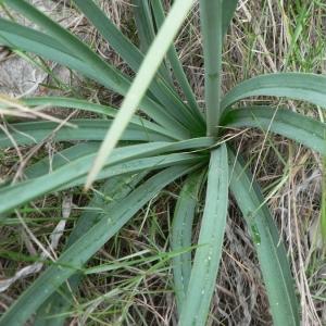 Photographie n°18991 du taxon Asphodelus ramosus L.