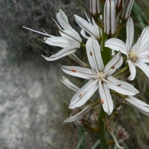 Photographie n°18992 du taxon Asphodelus ramosus L.