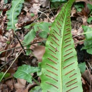 Photographie n°19032 du taxon Phyllitis scolopendrium (L.) Newman