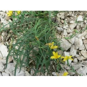 Lactuca ramosissima (All.) Gren. & Godr. (Laitue très ramifiée)
