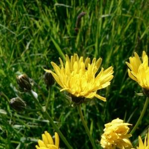 Photographie n°19055 du taxon Crepis biennis L. [1753]