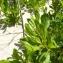 Mathieu MENAND - Baccharis halimifolia L.