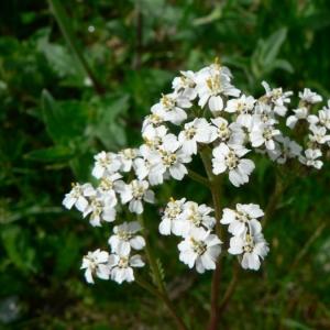 Photographie n°19078 du taxon Achillea millefolium L. [1753]