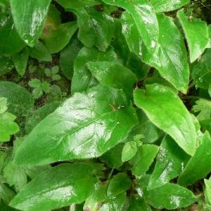 Photographie n°19084 du taxon Hieracium murorum L. [1753]