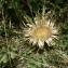 Mathieu MENAND - Carlina acanthifolia subsp. acanthifolia