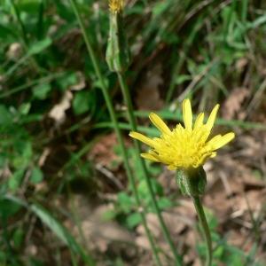 Photographie n°19107 du taxon Scorzonera laciniata L.