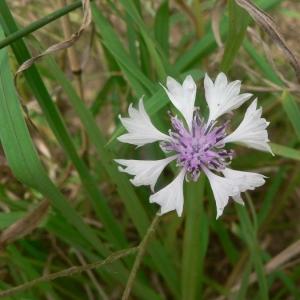 Photographie n°19108 du taxon Centaurea cyanus L.