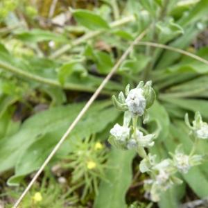 Bombycilaena erecta (L.) Smoljan. [1955] (Cotonnière dressée)