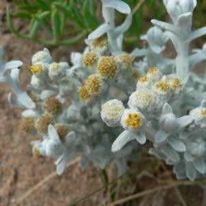 Photographie n°19252 du taxon Otanthus maritimus (L.) Hoffmanns. & Link