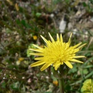 Photographie n°19261 du taxon Scorzonera laciniata L.
