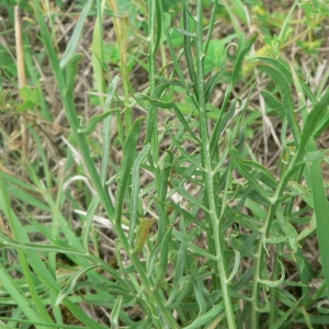 Photographie n°19268 du taxon Scorzonera laciniata L.