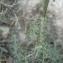 Mathieu MENAND - Centaurea paniculata L.