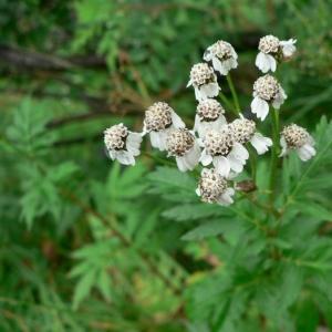 Photographie n°19293 du taxon Achillea macrophylla L. [1753]
