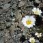 Mathieu MENAND - Leucanthemopsis alpina (L.) Heywood [1975]