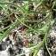Mathieu MENAND - Leucanthemum graminifolium (L.) Lam. [1779]