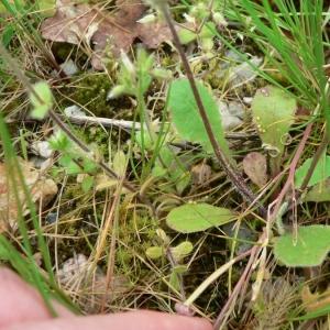 Photographie n°19321 du taxon Crepis sancta subsp. nemausensis (Vill.) Babc. [1941]