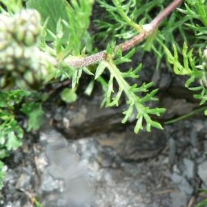 Achillea atrata L. (Achillée noirâtre)