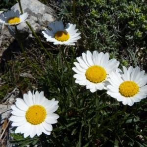Photographie n°19337 du taxon Leucanthemum graminifolium (L.) Lam. [1779]