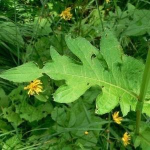 Photographie n°19392 du taxon Cirsium oleraceum (L.) Scop.