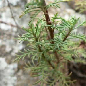 Photographie n°19408 du taxon Achillea chamaemelifolia Pourr. [1788]