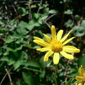 Senecio ruthenensis Mazuc & Timb.-Lagr. (Séneçon de Rodez)