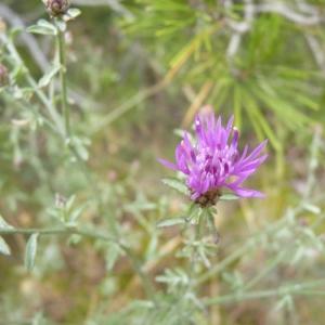 Photographie n°19415 du taxon Centaurea paniculata L.