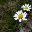 Mathieu MENAND - Anthemis cretica subsp. columnae (Ten.) Franzén [1986]