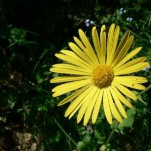 Photographie n°19433 du taxon Doronicum pardalianches L.