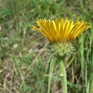 Photographie n°19441 du taxon Inula montana L.